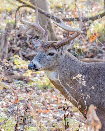 thicket: Whitetail Deer Buck standing in a thicket.