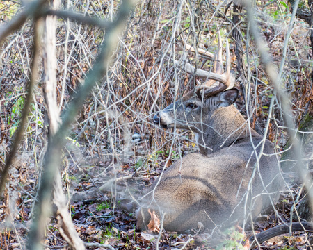 rutting: Whitetail Deer Buck bedded in a thicket tending a doe in heat during the rutting season.