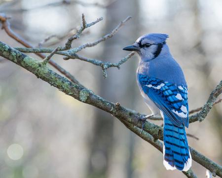 Blue Jay perched na gałęzi drzewa. Zdjęcie Seryjne