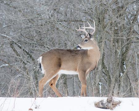 venado cola blanca: Venado de cola blanca pelota de pie en la nieve. Foto de archivo