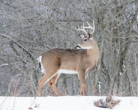 whitetail deer: Whitetail Deer Buck standing in the snow.