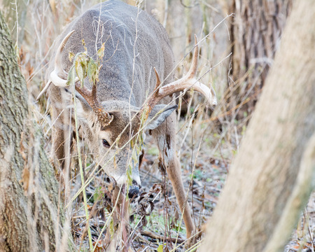 whitetail deer: Whitetail Deer Buck standing in a thicket.