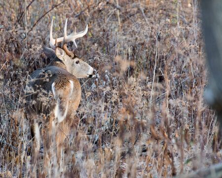 virginianus: Whitetail Deer Buck standing in a thicket.