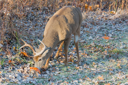 whitetail deer: Whitetail Deer Buck standing in a field.