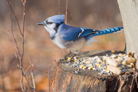 bluejay: A Blue Jay perched on tree stump with bird seed and peanuts.