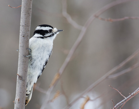 downy woodpecker: Downy Woodpecker perched on a tree branch.