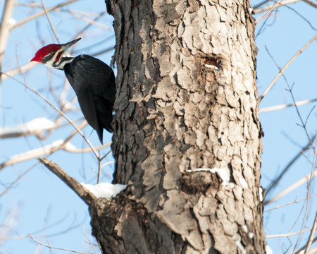 Pileated Woodpecker In A Tree looking for food in the winter. Stock Photo