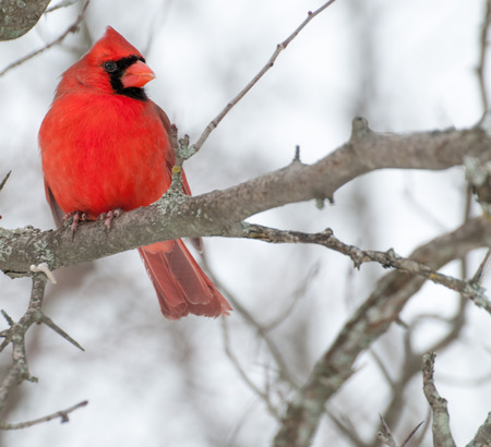 A Male Cardinal perched on a tree branch. Stock Photo