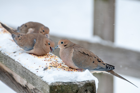 Mourning Dove perched in the winter snow eating bird seed.