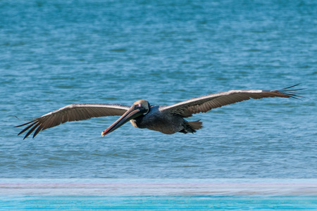 Brown pelican in flight in the Gulf of Mexico
