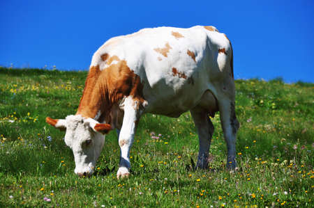 cow on the mountain meadow