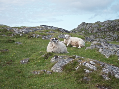 A couple of Hebridean muttons lie on the rocky slope Stock Photo - 13850383
