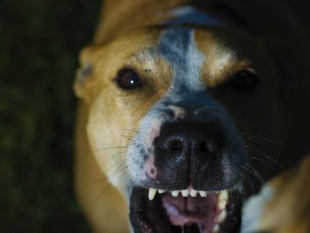 Dog showing its teeth, photo