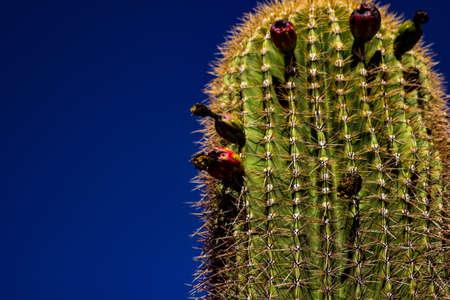 Cactus baring fruit Фото со стока - 108099461