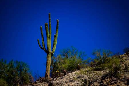 Saguaro on a mountain