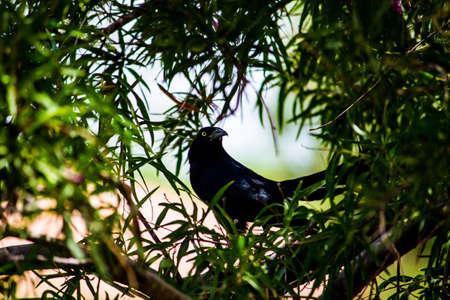 Black bird in a tree Фото со стока - 108021077