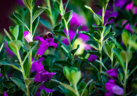 Honey bee over a purple flower