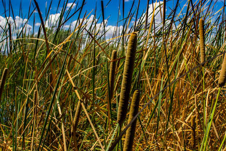 Cattails around a pond Фото со стока - 108021085