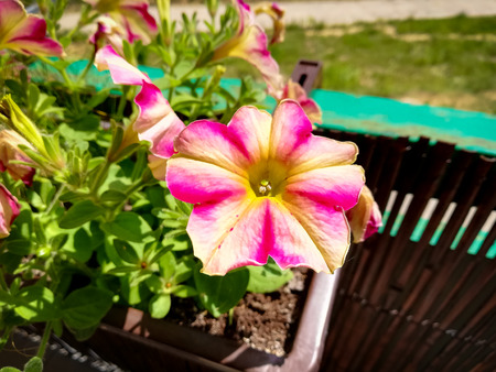 Petunia flowers on the balcony during sunny day