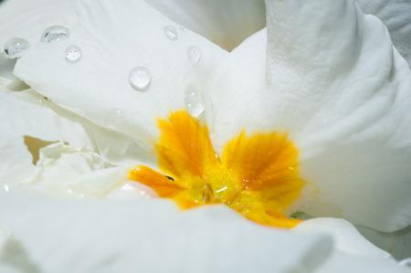 Primula, or primrose Bloom with water drops, macro