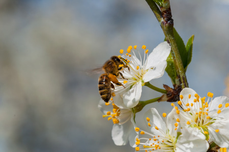 Abeja en macro de flores de ciruelo blanco