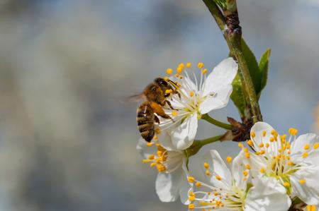 Honeybee on white plum flowers macro Stockfoto