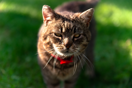 Horizontal portrait of grey domestic grumpy cat wearing red collar with shallow depth of field. Focus on head Stock Photo