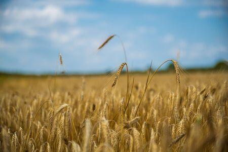 Close up van één tarweoor onder volkoren veld met sterke bokeh achtergrond, blauwe lucht