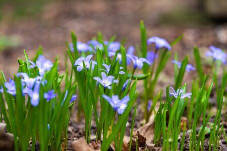 Macro of Crocus sativus L. with purple petals on blurred background in spring. Crocus flowers close-up. Spring background in. Nature blossom in spring after winter Banco de Imagens