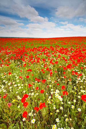 Beautiful field with wild poppies in Spain. Shallow DOF