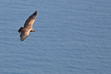 assailant: Vulture in flight over the sea (gyps fulvus) Stock Photo