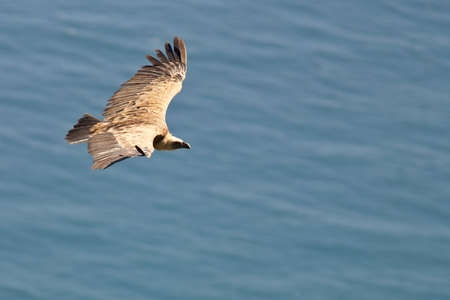 fulvus: Vulture in flight over the sea (gyps fulvus) Stock Photo