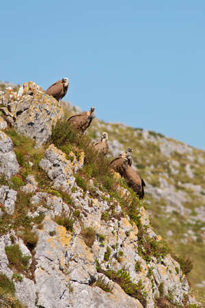 fulvus: Group of vultures on the rocks of the mountain (gyps fulvus)