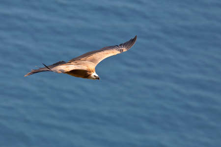 an assailant: Vulture in flight over the sea (gyps fulvus) Stock Photo