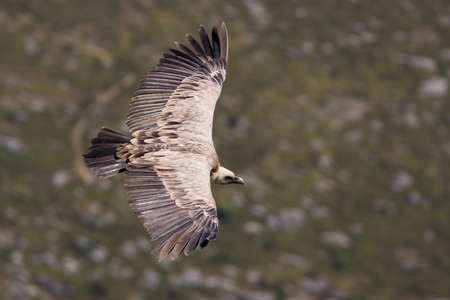assailant: Vulture in flight over the blurred background (gyps fulvus)