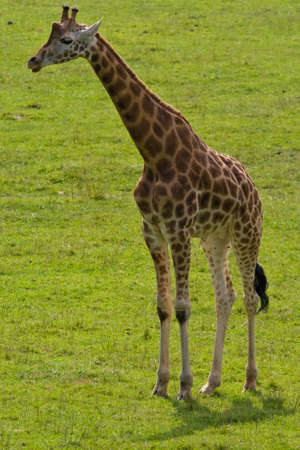 observe: A giraffe camelopardalis in the national park