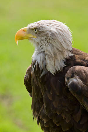 American bald eagle (Haliaeetus leucocephalus) portrait. Background blurred photo