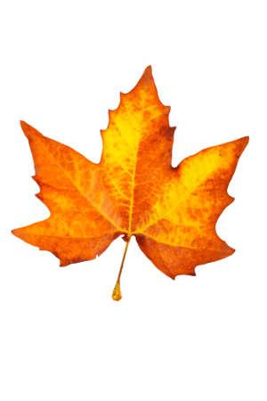 One maple leaf, isolated on white background photo