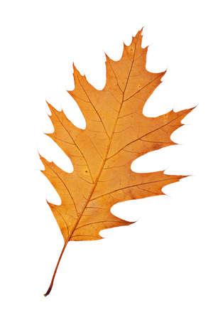 One autumn leaf, isolated on white background photo