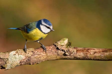 caeruleus: Blue tit, Parus caeruleus on a branch. Shallow depth of field and bakground blurred Stock Photo