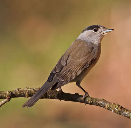 bakground: Blackcap, Sylvia atricapilla on a branch. Shallow depth of field and bakground blurred