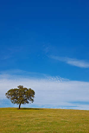 Solitary tree in a field with grass to the foreground over a clear blue sky photo