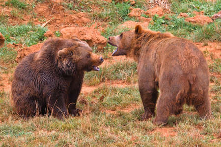 omnivore animal: Two brown bears, ursus arctos fighting  in a wild life park Stock Photo