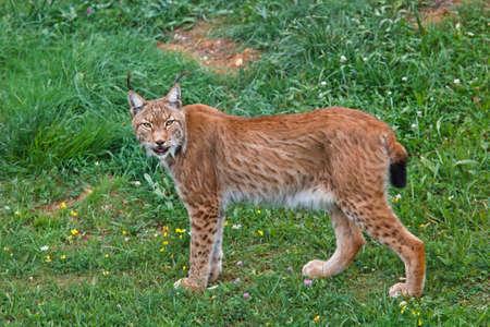 lince: Lynx pardinus en un parque de vida silvestre