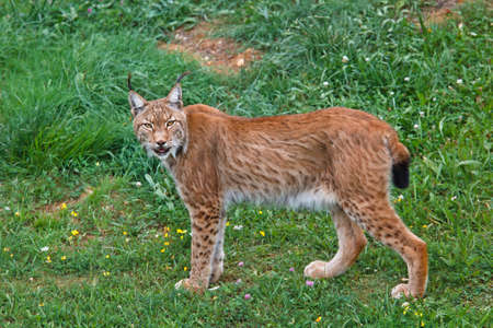Lynx pardinus in a wild life park Stock Photo