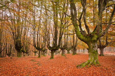 The falling leaves colors the autumn season in the forest. Otzarreta, Bizkaia, Spain Stock Photo - 9071248