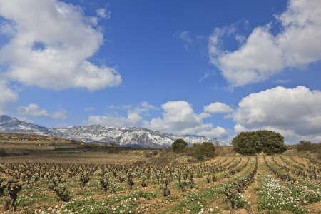 Fields of vineyards in La Rioja, Spain photo