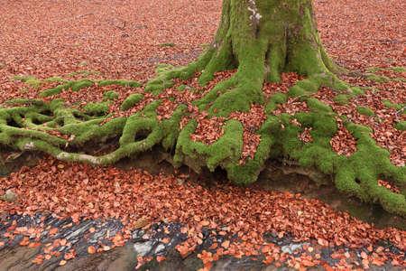 The falling leaves colors the autumn season in the forest. Otzarreta, Bizkaia, Spain Stock Photo - 9071272