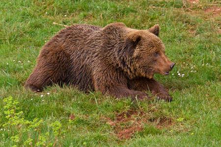 arctos: One brown bear, ursus arctos resting on the grass