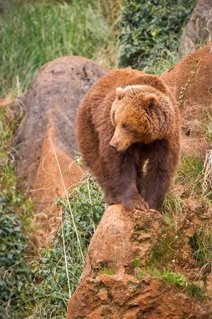 arctos: Un orso bruno, ursus arctos poggiante su roccia